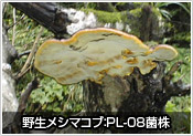 野生メシマコブ(PL-08)