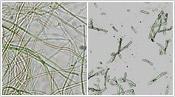 メシマコブ菌糸体酵素処理にて低分子化