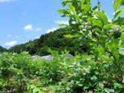 自家栽培ブルーベリー